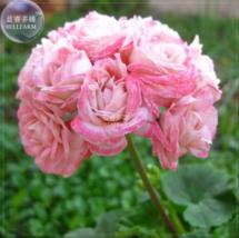 10 SEED Geranium Light Rose Pink Petals Hairy Perennial Bonsai Flowers A - $4.75