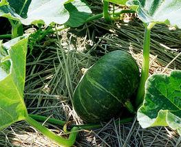 8 Golden Yellow Abalone Pumpkin Seeds Cushaw Cucurbita Organic Vegetables