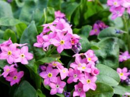100 Pcs Seeds Myosotis Sylvatica Forget Me Not Victoria Pink Flower - DL - $16.00