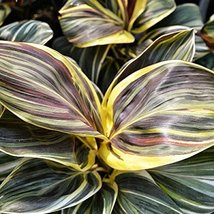 1 Rooted of Cordyline Miss Andrea - $49.49