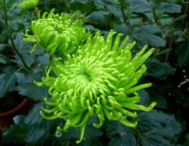 50pcs Very Graceful Green Spider Chrysanthemum Courtyard Flower Seeds IMA1 - $13.99