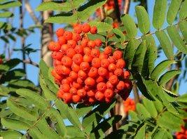 LIVE PLANT European Mountain ash Rowan fruit tree with berries Nice Tree  - $48.99