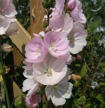 50 Miniature Sidalcea Hollyhock Flower Seeds - $4.88