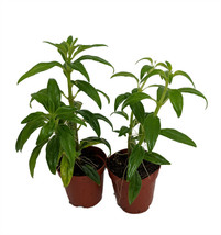 "2 Plants in 2"" Pots- Goldfish Plants-Blooms Frequently-Easy to Grow - tkhit - $45.00"