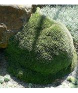 """SHIP From US, 4"""" pot Abromeitiella brevifolia, succulent plant cacti ECC - $44.99"""