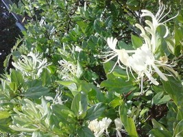 6     Yellow Honeysuckle  And 6 Carolina Jasmine Plants - $29.21