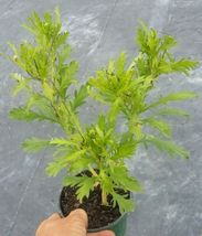 Daisy Plant Live Bush Shrub Flower - $22.40