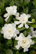 Summer Flower Gardenia Plant Fragrant Green Leaves Garden Yard Ships Wit... - $70.00