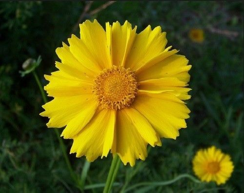 SHIPPED From US,PREMIUM SEED:50 Particles of Lance Leaf Coreopsis,Hand-Packaged
