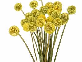 10pcs Very Elegant Craspedia Billy Balls Yellow Flower Seeds IMA1 - $13.99