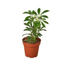 "2 Live Plant - Different Schefflera Plants Variety Pack 4"" Pot #HPS13 - $53.99"