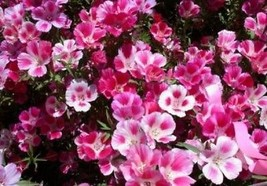 Godetia farewell to spring 100 fresh seeds - $3.53