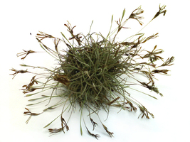 10 Plants - Ball Moss Tillandsia recurvata - $14.55