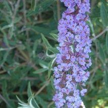 "1 Live Potted Plant bush buddleia Nanho Blue butterfly shrub 2.5"" pot MAN1 - $32.99"