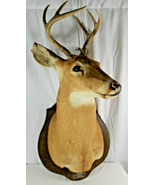 Whitetail Antlers Deer Shoulder Mount Taxidermy Log Home Man Cave Vintage - $148.50