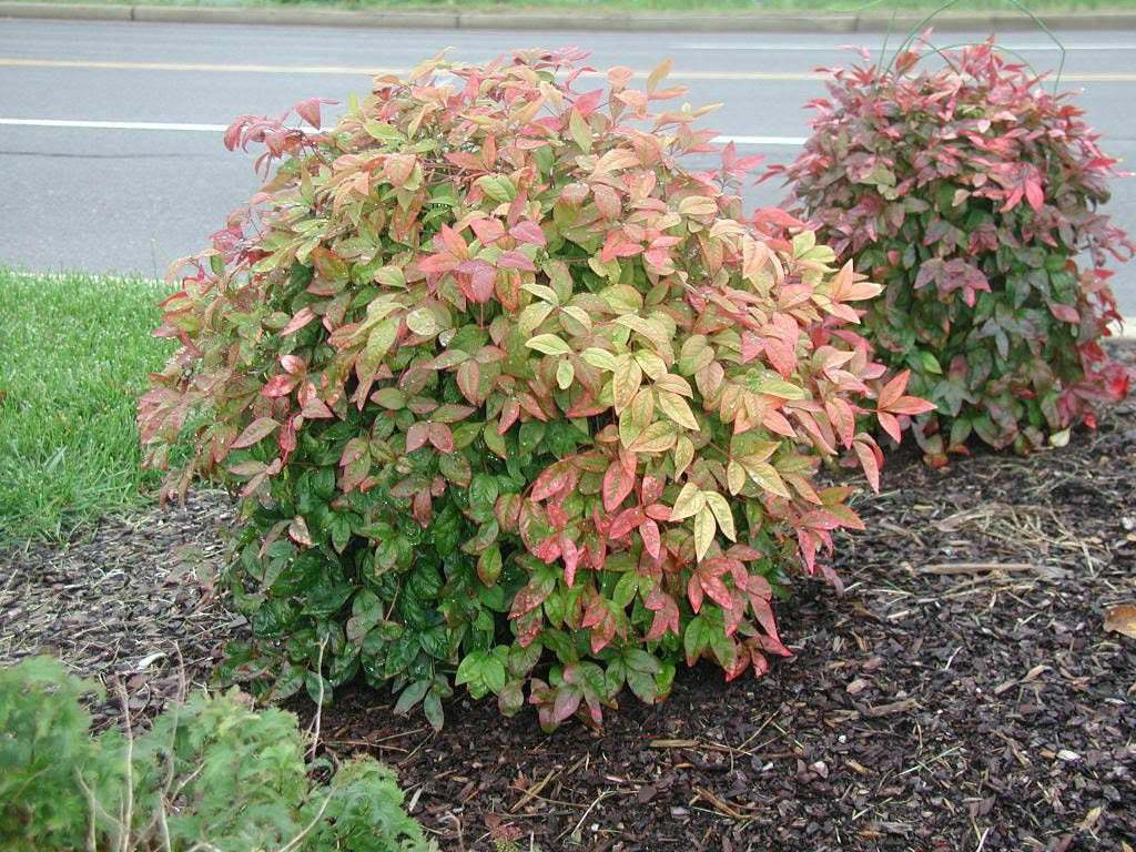 Dwarf Nandina Firepower (ornamental shrub)