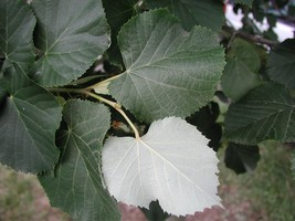 Silver Linden Tree seedling great yard shade basswood LIVE PLANT TkBucke  - $40.00