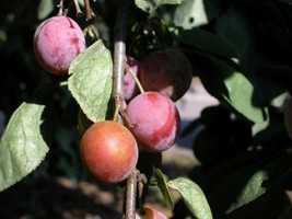 3 FT Golden Candy Plum Tree, Flowering Fruit Trees (awites) - $89.95