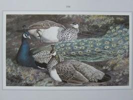 BEAUTIFUL TUNNICLIFFE BIRD PRINT ~ PEACOCK & PEAHENS - $54.55