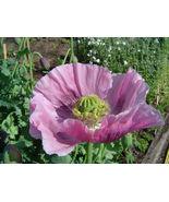 1000 Seeds - Single Lilac Poppy Papaver Purple Heirloom #SFB15 - $17.99