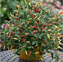 100Pcs/ Bag Ornamental Hot Pepper Multicolored (4), HZ Healthy Vegetable... - $8.89