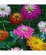 USA cactus flowered giant zinnia mix 100-800 seeds (butterfly gardening) - $6.89+