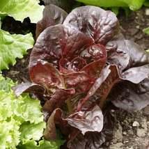 100Pcs Lettuce Super Red Romaine Vegetable Seeds Lactuca Sativa Seed - $19.54