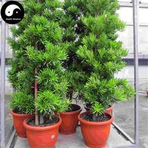 Buy Pseudolarix Amabilis Tree Seeds 120pcs Plant Pine Bonsai China Jin Q... - $15.99
