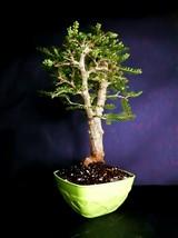 Operculicarya Decaryi Bonsai- Natural bonsai - very old plant - $216.00