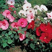 100 Rose Mallow (Lavetera) Mixed Colors Seeds - $6.93