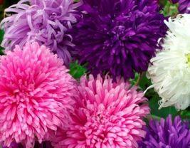 50 Seeds Giant California Aster Flower, DIY Decorative Plant Seeds SPM02 - $6.99
