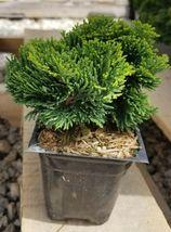 4 Inch Pot ( Pack of 3 plants ) ( 3 ) Dwarf Hinoki Cypress ( nana gracilis )  - $128.00