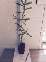 Willow Oak qt pot (quercus phellos) image 3