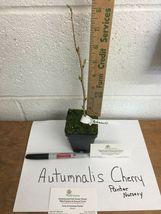 Autumnalis Flowering Cherry Tree image 3