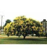 1 Packet of 30 Seeds Golden Raintree Tree/Sapindales Koelreuteria/Koelre... - $14.57
