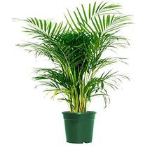 "Areca Palm Indoor/Outdoor Air Purifier Live Plant, 6"" Po - $9.99"