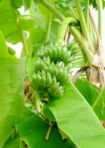 1 Live Plant Musa Banana Dwarf Brazilian Apple Quart - $60.99