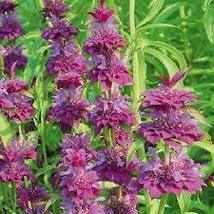 50 mg Seeds - Lambada Bee Balm Seeds – Monarda - Perennial HH01 - $13.99