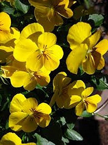 Primary image for 50 Viola (Yellow Perfection) Seeds