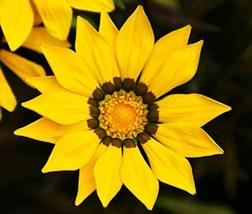 100 Flower Seeds Gazania Seeds Garden Leader Yellow Seeds Garden Seeds Plant See - $28.71
