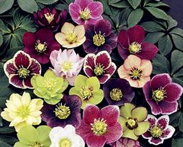 100pcs Very Admirable Helleborus Orientalis Seeds Christmas rose IMA1 - $14.99