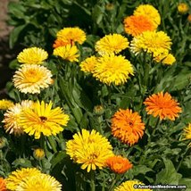 18K seeds, or 4 oz - Calendula Fiesta Gitana - Edible Heirloom Pot Marigold - $37.62