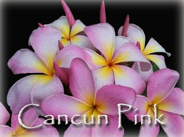 Beautiful Fragrant Rare Exotic Cancun Pink Plumeria Frangipani cutting - $12.95