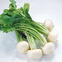 Radish Seed, Philadelphia White Box, Round White, Heirloom, Non GMO, 5000 Seeds, - $10.99