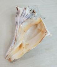 "Queen Conch Seashell Medium Horned 6"" Sea Shell For Aquarium Tanks Decor - $39.19"