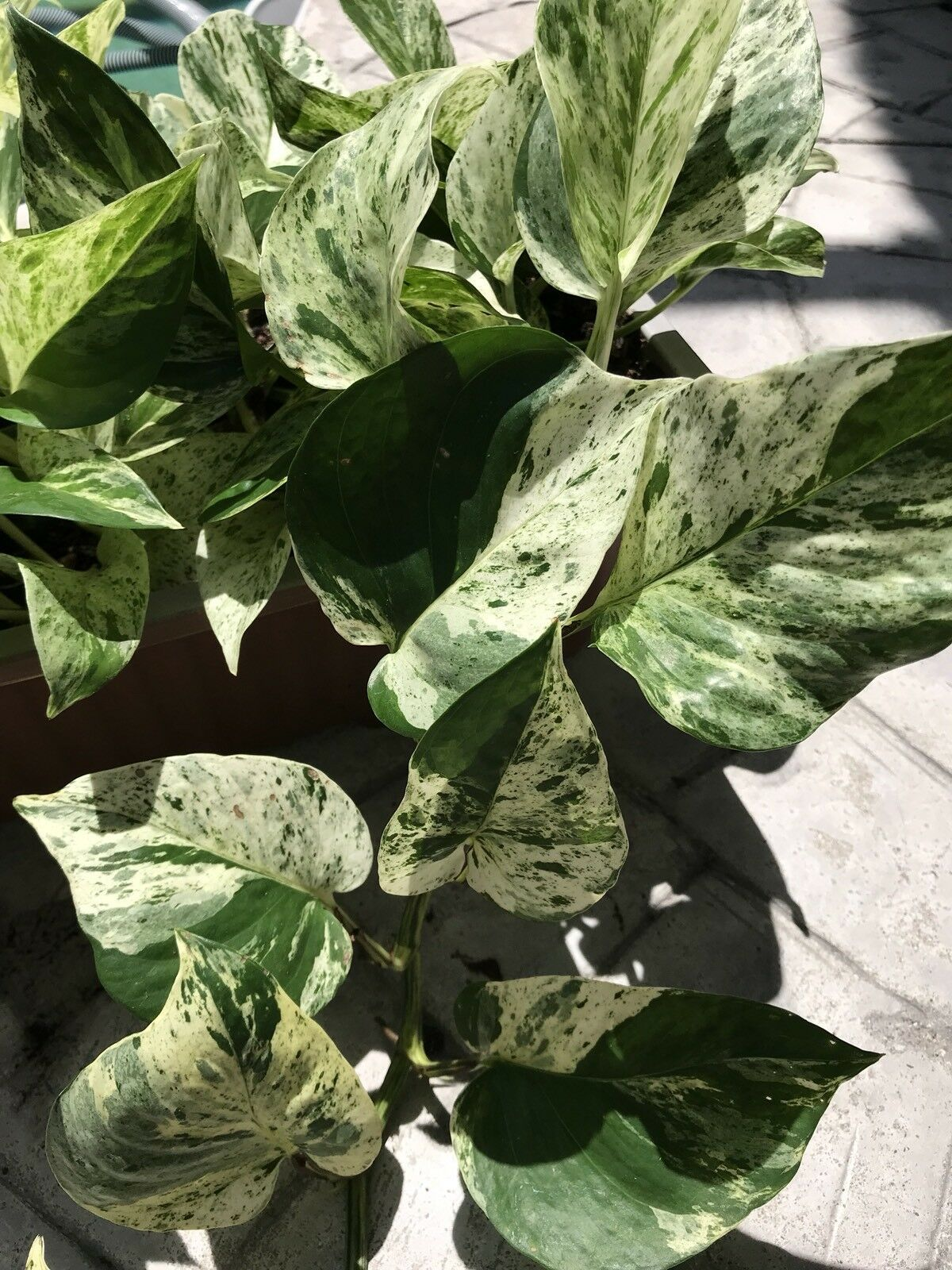 Primary image for Marble Queen Pothos 2 feet Cuttings Vining House Plant Air Purifier