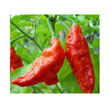 150 Seeds / Pack Heirloom Red Ghost Chili Pepper Seeds Bhut Jolokia Pepper - $13.99