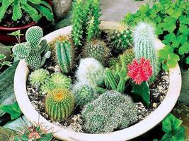 100seeds Succulent Cactus Opuntia stricta Lithops Bonsai Plants - $2.88
