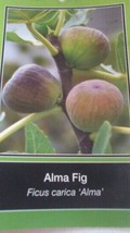 ALMA FIG TREE Live Plant Fruit Trees Healthy Figs Plants Home Garden Orc... - $33.90
