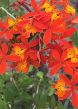 "1 Plant Bareroot - Epidendrum Radicans Orange Reed Orchid 10"" Tall #HWG13 - $25.99"